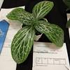 Primulina liboensis (white vein)