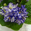 Arctic Frost<br /> African violet