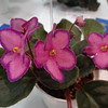 Halo's Aglitter<br /> African violet