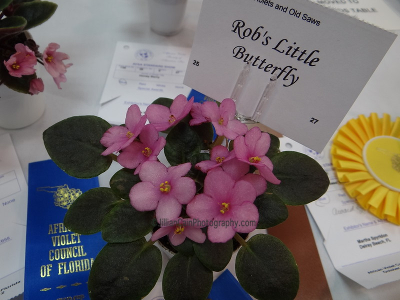 Rob's Little Butterfly<br /> African violet