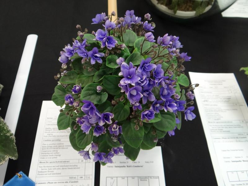 Robs Gundaroo<br /> African violet