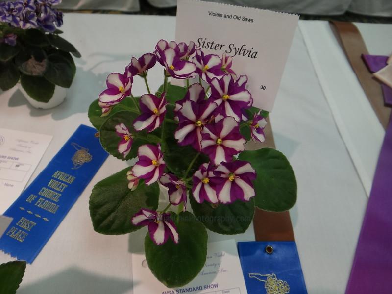 Sister Sylvia<br /> African violet