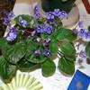 Confusa<br /> African violet Species