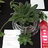 Primulina gemella