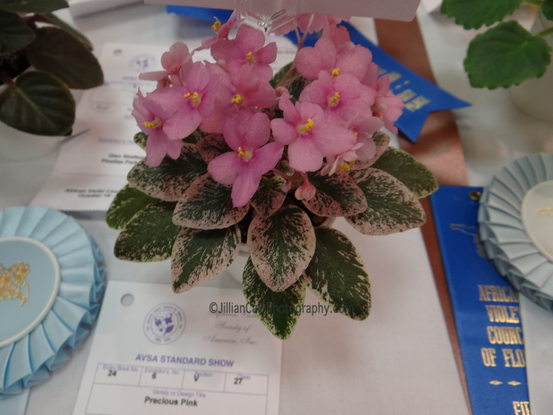 Precious Pink\African violet