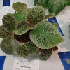 "Episcia ""Checkerboard"""