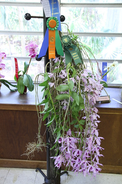Best in Show  grown by Rose Bechard-Butman,  Dendrobium pierardii orchid