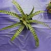 Cryptanthus Salome