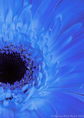 UVIVF-gerbera daisy