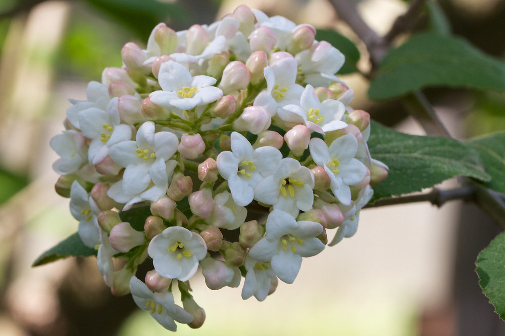 Viburnum carcephalum is the most fragrant of the Viburnums.