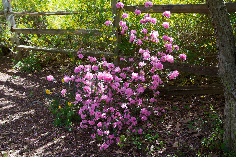 This is a very hardy Azalea which is our second flowering after the carolinianum.  I swear the name was Helen but I can't find a clear reference for it on the web. It grows where many a Rhodie has perished.