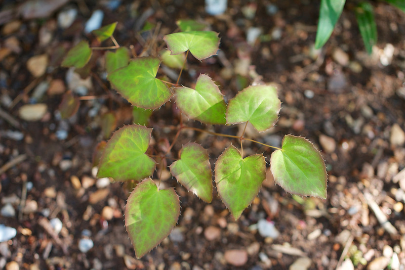 Epimedium 'Cupreum' was another purchase from Garden Visions at Stonecrop last year