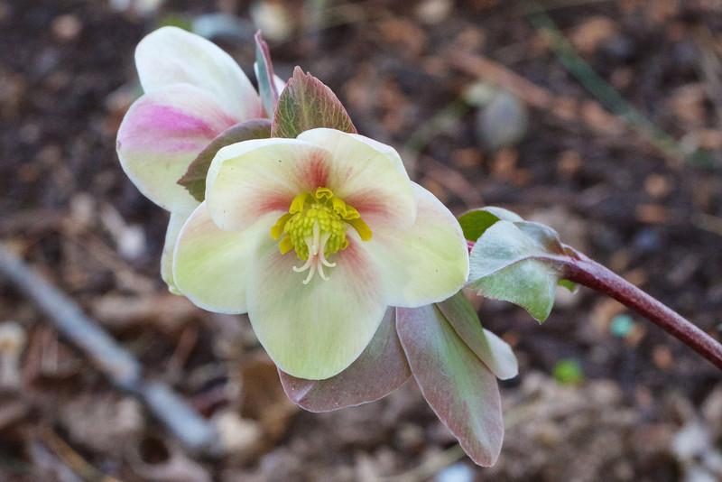 Helleborus 'Pink Frost'
