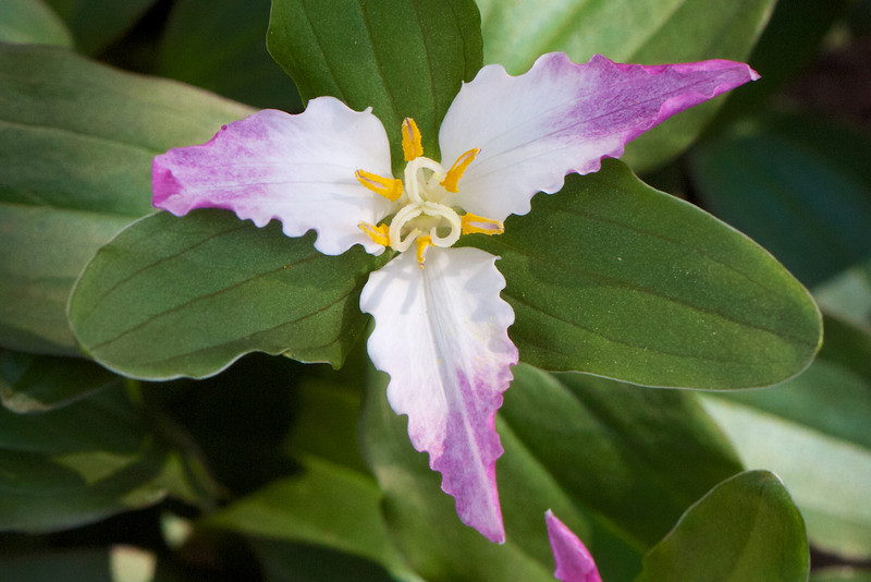 Trillium pusillum 'Roadrunner' is my all-time favorite Trillium.  The color changes from white to pink as it ages over a nearly a month in bloom.