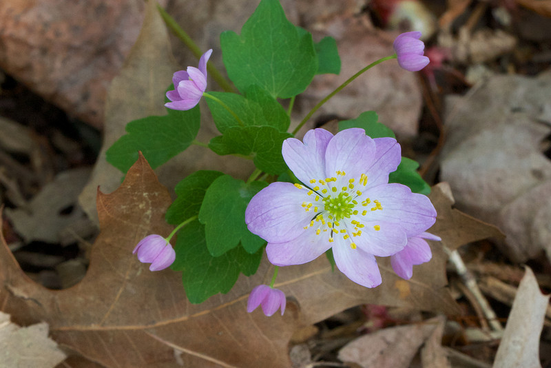 Anemonella thalictroides 'Rosea'.  I'm going to watch for seed from this one.