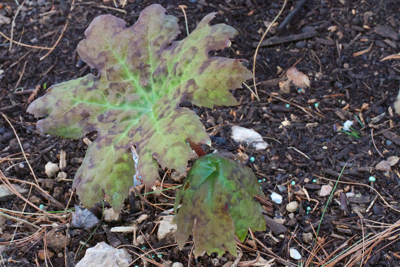 Podophyllum delavayi may be the most dramatic looking of the Mayapples yet.