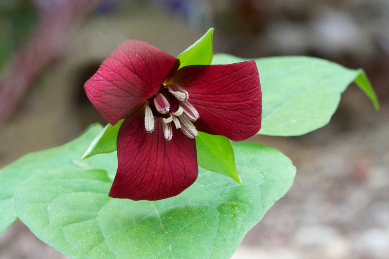 Trillium erectum has a very red flower.  No sign of multiplying yet.