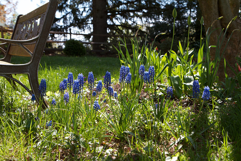 Muscari 'Blue Magic' is a particularly nice Muscari.