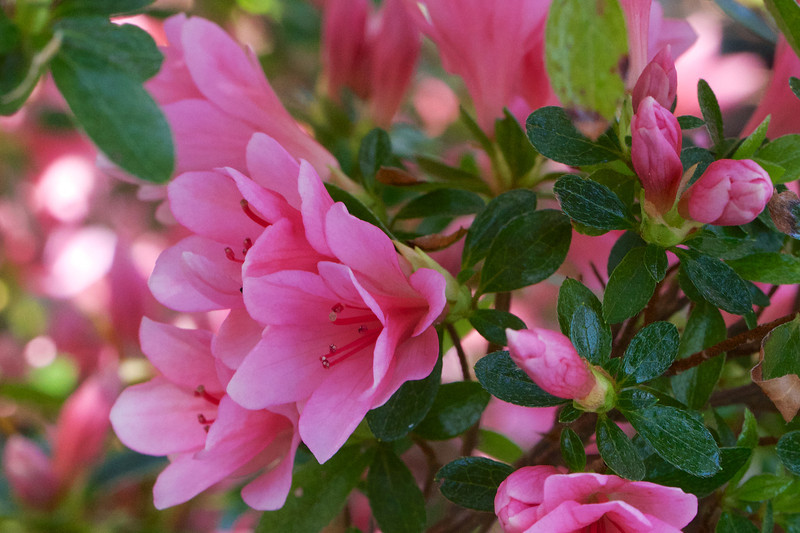 Azalea 'Coral Bells' was brought up from Alexandria and is always covered with blossoms though it's only supposed to be marginally hardy here.