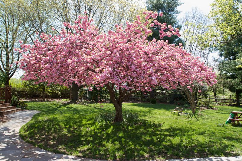 The Kwanzan in full bloom