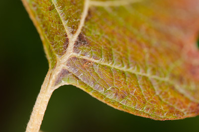 Hydrangea quercifolia 'Alice', Alice Oakleaf Hydrangea