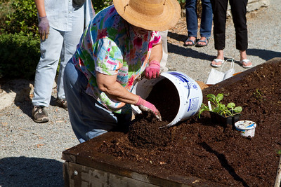 At this point, planting can start.  A hole is made in the covering compost and good quality planting compost is placed in the hole.