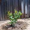 4.16.2009 Planted this Dwarf Meyer Lemon tree next to the new shed and the fence you see in the background. I hope it will get enough sun as there are a couple of  large, tall Cypress trees that block the sun till about 11:30 A.M.  just to the left on the other side of the fence in our neighbor's yard. The shed blocks the sun from about 3-5P.M. and then the sun hits it again for about an hour. Should get longer as the Summer nears. It needs 4-5 hours a day they tell me.