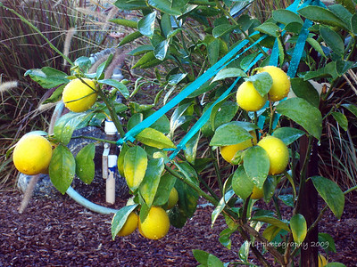 Dwarf Meyer Lemon Tree