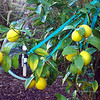 I planted this Dwarf Meyer Lemon tree back on 4/16/09. Today, 11.26.09, we are about to reap our first harvest. I did'nt think we'd get any lemons this first year but as you can see, we've got lemons! Hooray!