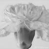 20180315 flower carnation FA HF (B,Radius8,Smoothing4)-3