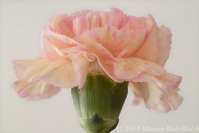 20180315 flower carnation FA HF (B,Radius8,Smoothing4)