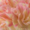 20180315 flower carnation FS PS-3
