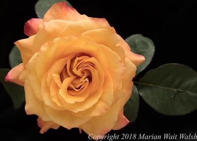 20180311 flower rose FS HF 17-27-21 (B,Radius8,Smoothing4)-2