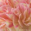 20180315 flower carnation FS PS-2