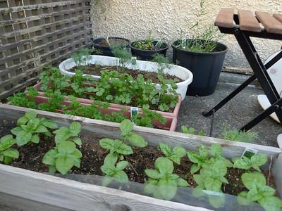 from bottom to top: thai basil & sweet basil parsley cilantro dill thyme, marjoram, tarragon