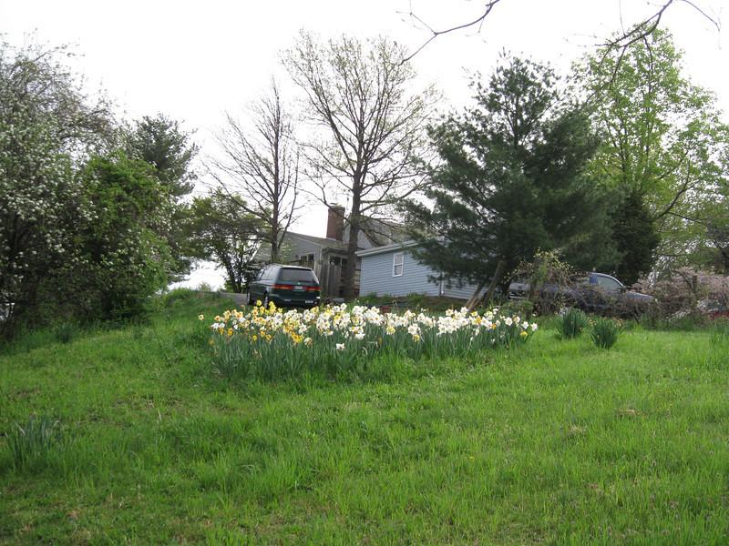 Daffodils on hillside