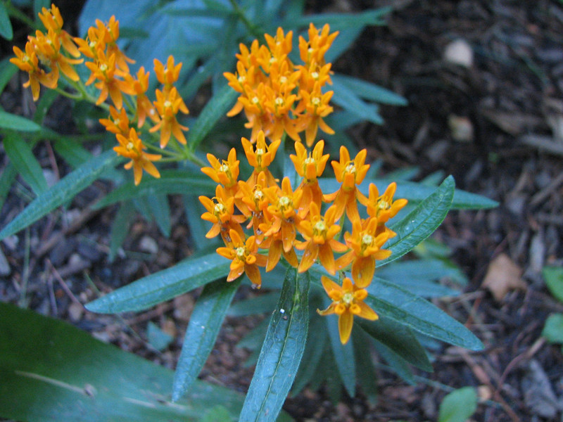 Butterfly Weed from seed