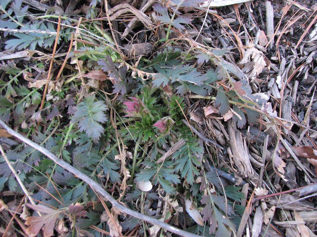 Prairie Geum March 9 2008