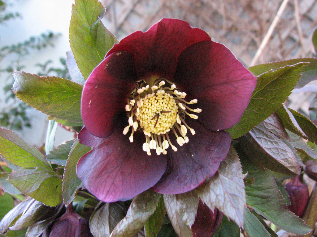 Hellebore on March 9 2008