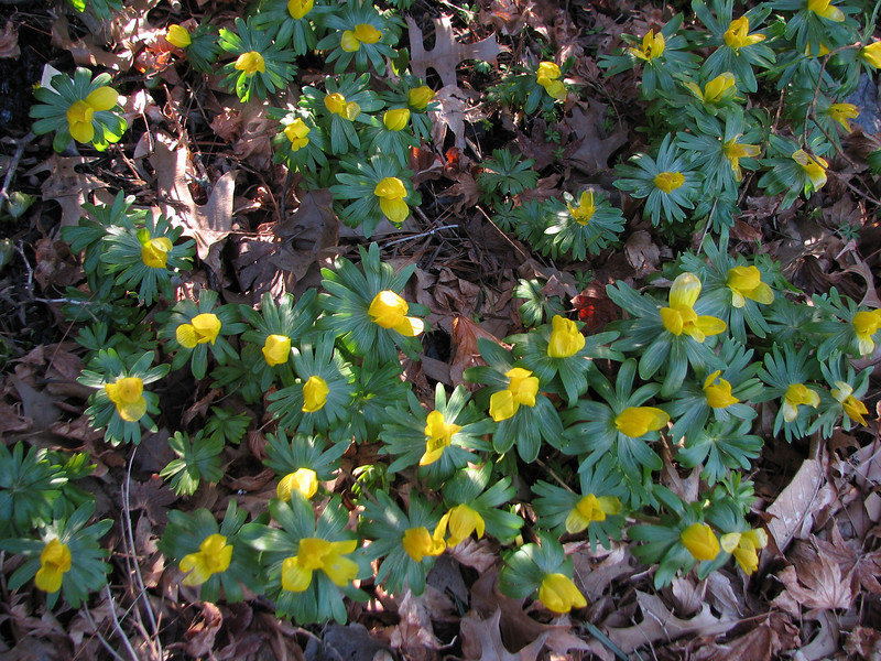 Winter Aconite on March 9 2008