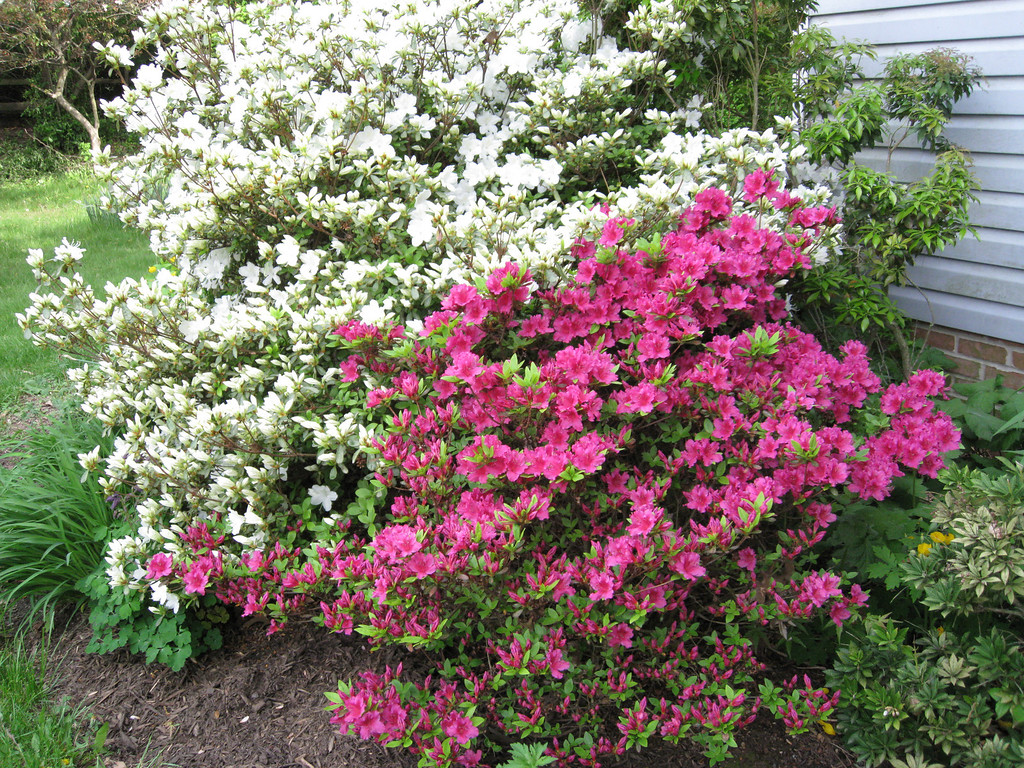 Azaleas to the fore