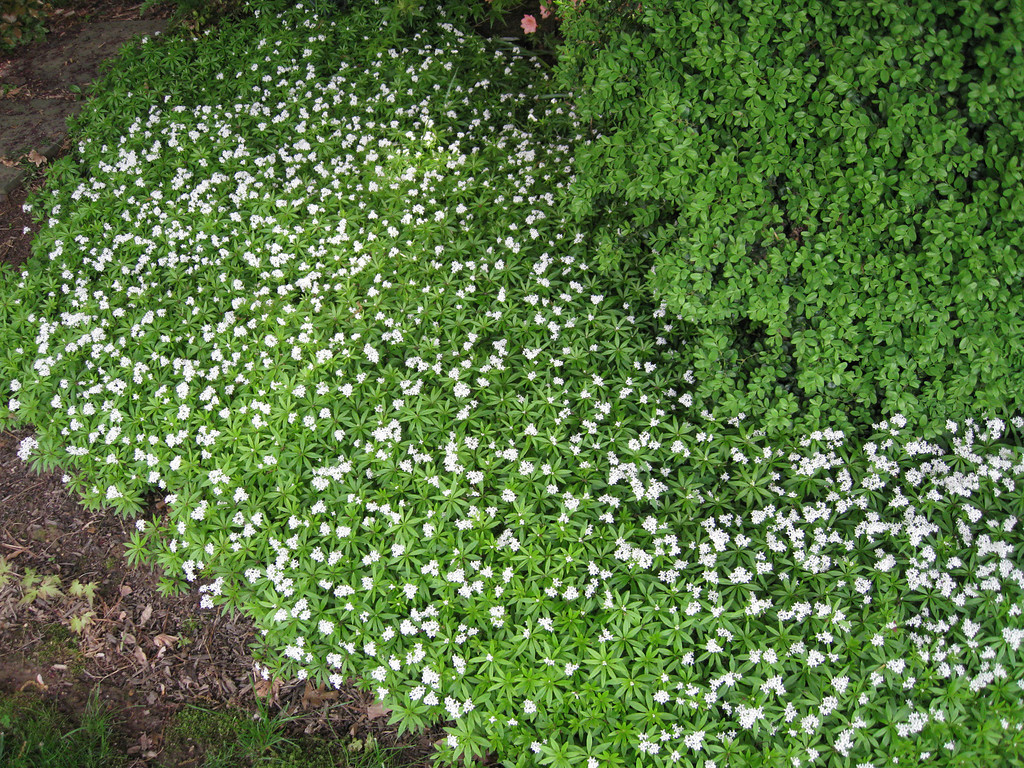 Sweet Woodruff abounding