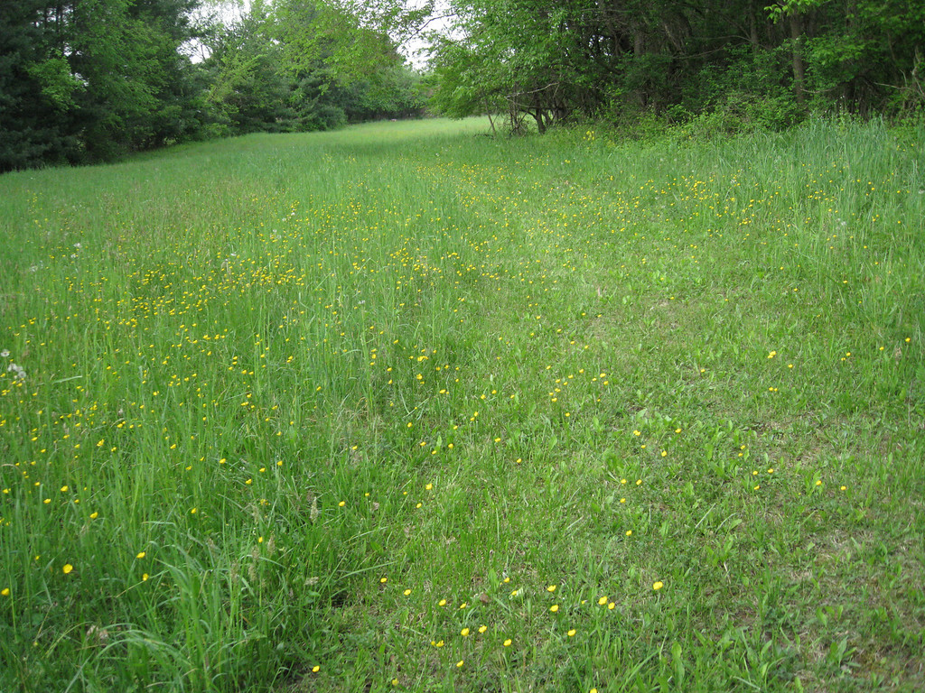 The Eastern Buttercup Reserve