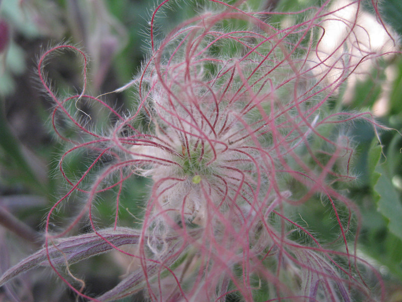 Prairie smoke hair