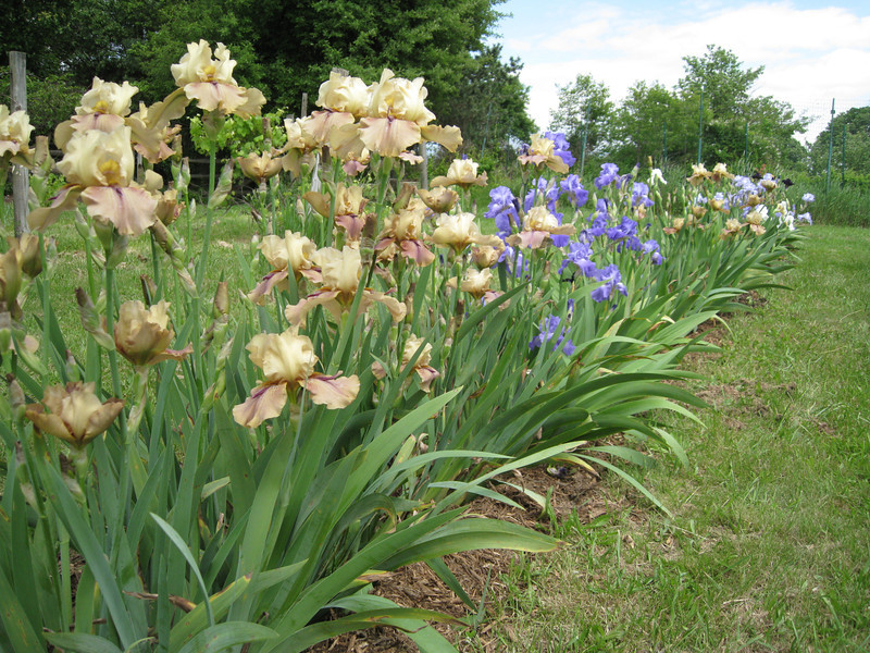 The Iris bed