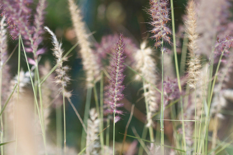 Pink fountain grass
