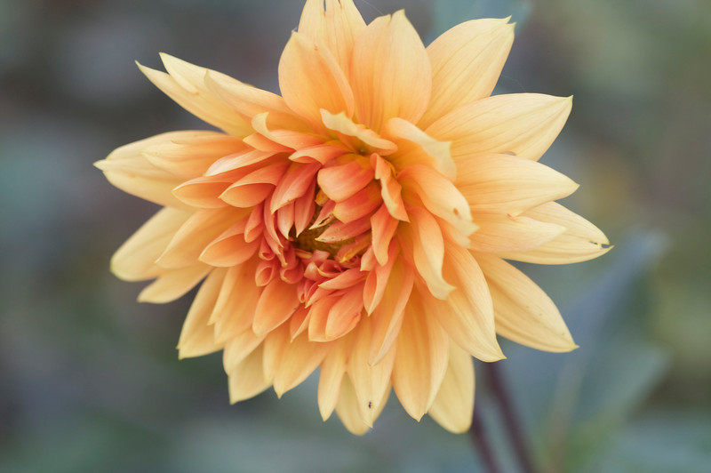 I've long forgotten the name of this double decorative Dahlia
