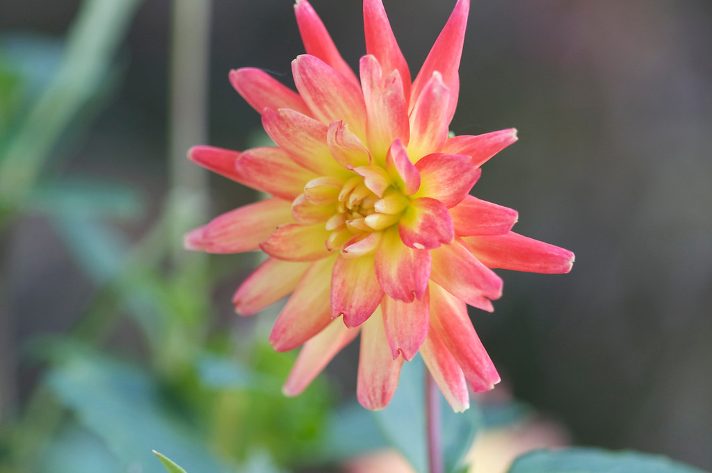 This is Dahlia time!
