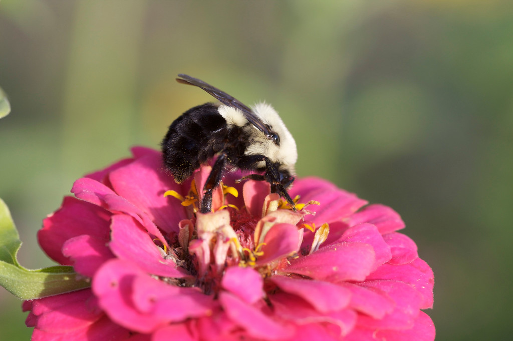 The biggest furriest bees are in the garden now