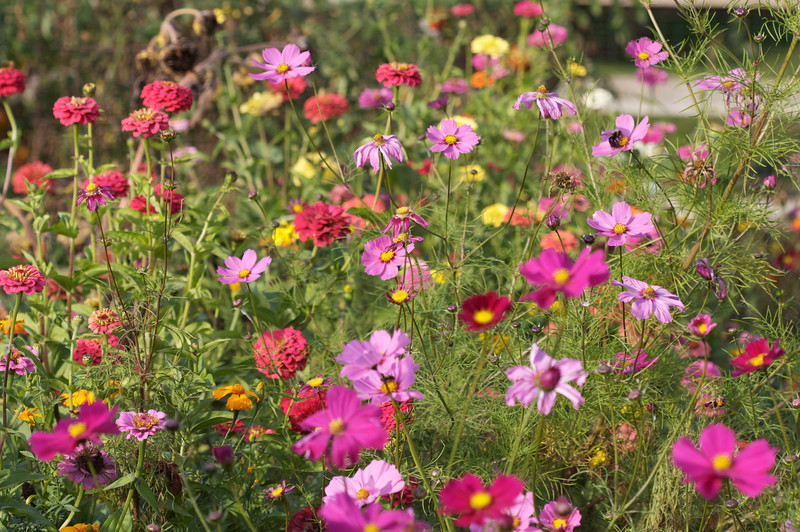 Cosmos, Zinnias, and Marigolds